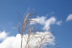 трава pampas Стоковые Изображения RF