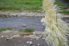 трава pampas Стоковое Фото