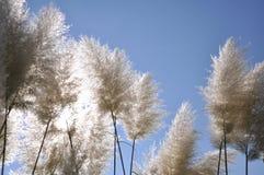 трава pampas Стоковое Изображение RF