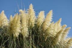 трава pampas Стоковое фото RF