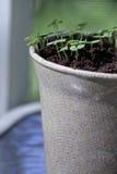 трава potted Стоковое Фото