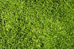 Трава Scleranthus Стоковые Фотографии RF