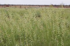 Трава Spinifex Triodia осеменяя семена Стоковые Фотографии RF