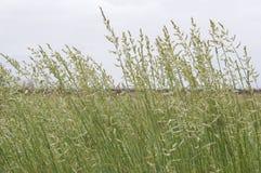 Трава Spinifex Triodia осеменяя семена Стоковые Изображения RF