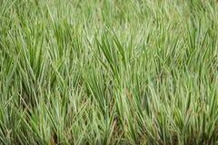 трава variegated Стоковые Фото