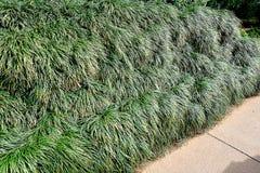 Трава Vetiver стоковая фотография