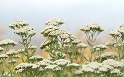 Трава Yarrow Стоковые Фото