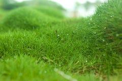 Трава Zoysia Стоковая Фотография RF