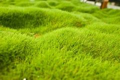 Трава Zoysia Стоковые Фотографии RF