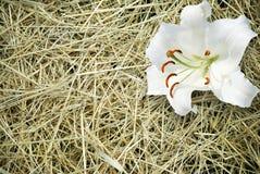Травинка и белая лилия стоковые фотографии rf