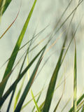 Травинка Стоковое Изображение RF