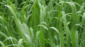 Травинки пошатывая к ветру видеоматериал
