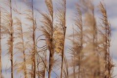 Травы болота дуя в ветре Стоковые Изображения RF