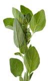 травы изолировали oregano Стоковое фото RF