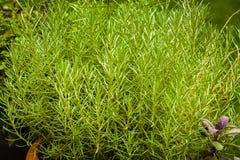 Травы используемые в кухне: Italicum Helichrysum Smil Стоковое Фото