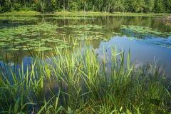 Травы лилий воды на реке Des Milles Iles стоковые изображения rf