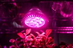 Травы растут с электрической лампочкой приведенной выращивания растения в парнике стоковые изображения rf