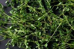 Травы тимиана Стоковое Изображение