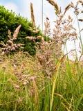 Травы луга лета Стоковые Изображения