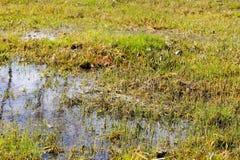 Травянистая топь с стоячей водой Стоковая Фотография RF