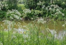 Травянистые банки реки стоковое изображение rf