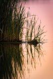 Травянистые тростники в воде стоковое изображение
