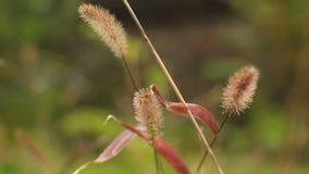 Травянистый засоритель пошатывая в ветре акции видеоматериалы