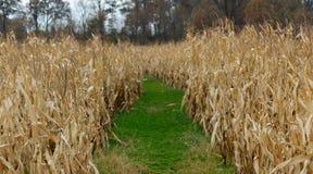 Травянистый путь ноги через кукурузное поле Стоковая Фотография