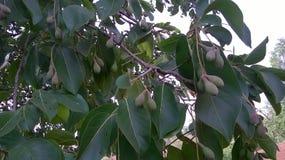 Травяное дерево Hirada Стоковые Изображения
