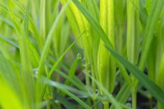 Трав-лезвия с падениями росы утра Стоковое фото RF