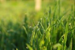 Трав-лезвия с падениями росы утра Стоковое Изображение RF