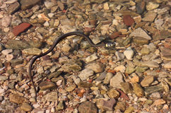 Трав-змейка заплывания (natrix Natrix) Стоковые Изображения
