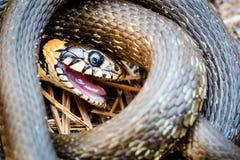 Трав-змейка, сумматор в предыдущей весне Стоковые Фотографии RF