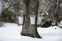 Традиционные ведра собирают сок от дерева клена в предыдущей весне Стоковые Изображения