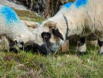 Традиционный марш овец табунит над перевалом к выгону Стоковые Изображения RF