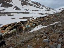 Традиционный марш овец табунит над перевалом к выгону Стоковое Фото
