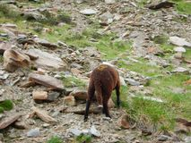 Традиционный марш овец табунит над перевалом к выгону Стоковое Изображение RF