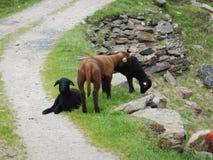 Традиционный марш овец табунит над перевалом к выгону Стоковые Изображения