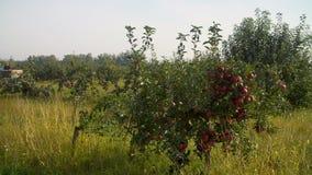 Трактор жать яблоки в саде акции видеоматериалы