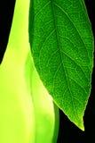 транспарант листьев Стоковые Изображения RF