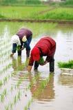 трансплантат сеянцев риса Стоковое Изображение