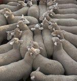 Транспортировать овец Стоковое Фото