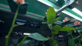 Транспортируют розовые розы на стержнях на образовывая линию акции видеоматериалы