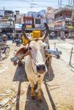 Транспорт тележки вола в Индии Стоковое Изображение