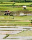 Трансплантируя рис Стоковые Фото