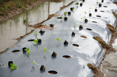 Трансплантируя урожай Стоковые Фото
