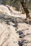 Трап над оливками сеть Стоковая Фотография RF