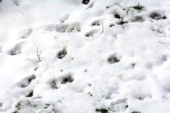 Трассировки диких животных Стоковое Фото