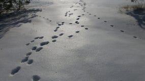Трассировки на снеге диких животных Стоковые Фото