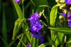 Традесканциа Цветок сада Стоковая Фотография RF